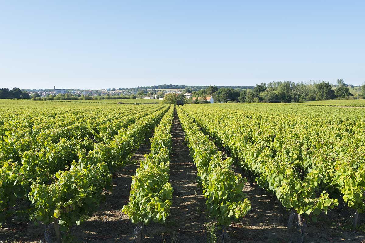 Vignoble de Nantes