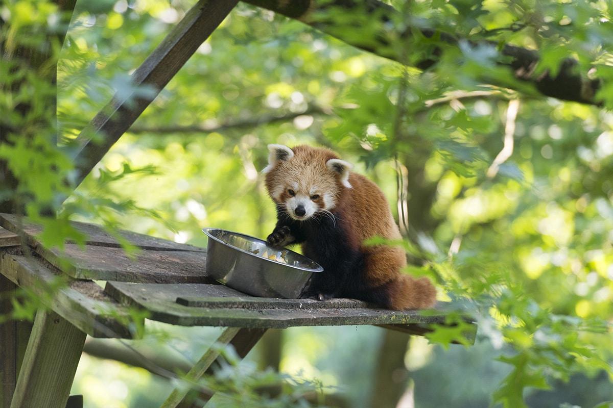 Panda Roux Zoo Boissière du Doré