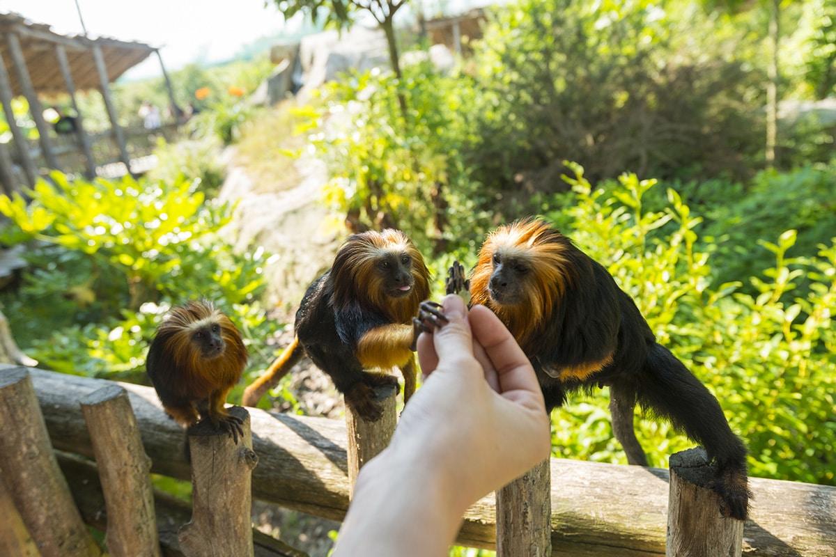 Les singes au Zoo de la Boissière du Doré