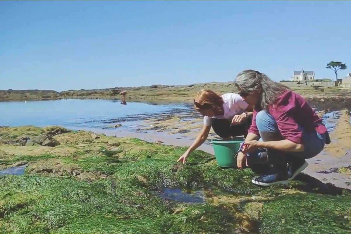 Cueillette des algues, les jardins de la mer du Croisic en Loire-Atlantique