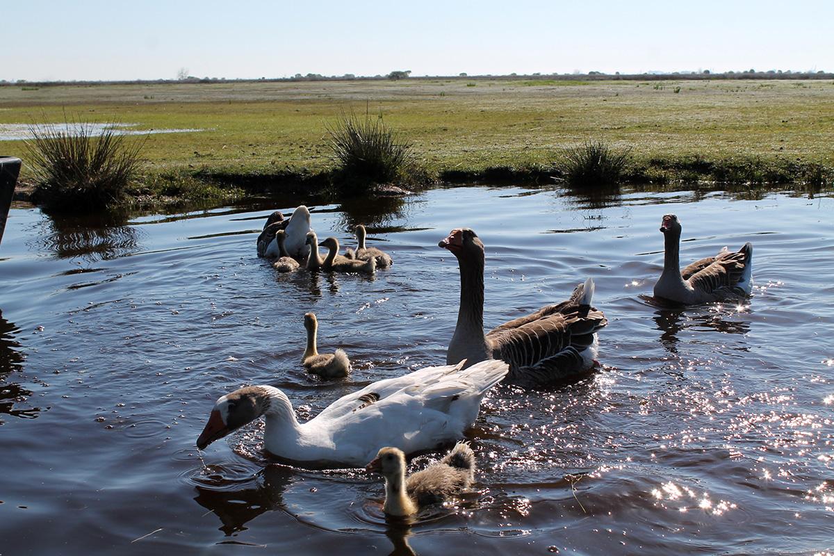 oies dans le marais de Brière en Loire-Atlantique