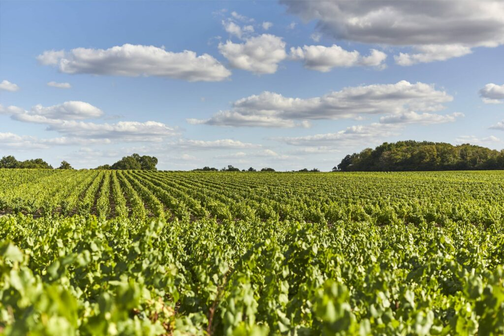 Les vignes du Landreau © Lamoureux