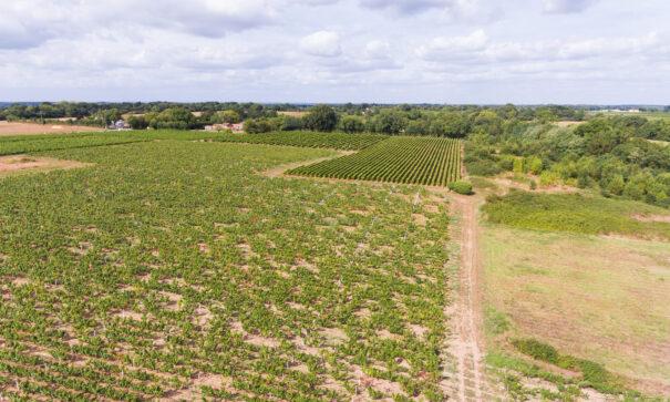 Les vignes de Saint-Léger les Vignes @J. Jehanin